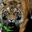 A new home for Sumatran Tigers