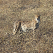 Securing large carnivores and their prey in Kafue National Park