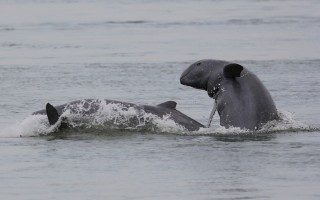 Dolphin breaching on back © Gerry Ryan  WWF-Cambodia