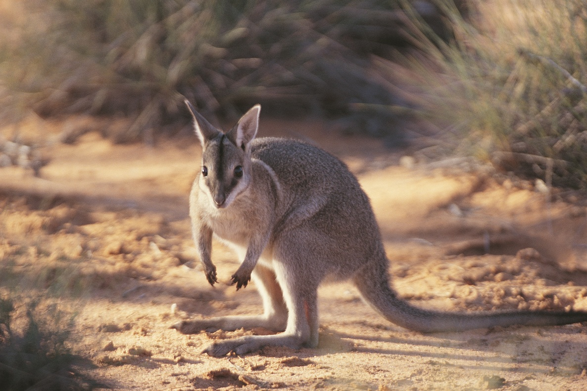 conservation of endangered marsupials essay Key factors to consider when integrating stress physiology into marsupial conservation include considering what is to be measured, standardized protocols and validation (m stl and palme, 2002 sheriff et al, 2011.