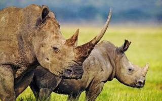 Rhinos in crisis © Martin Harvey WWF-Canon