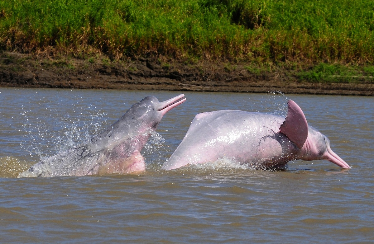 Protect river dolphins and their river habitat in Colombia ...