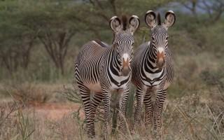 © Grevy's Zebra Trust - Nelson Guda