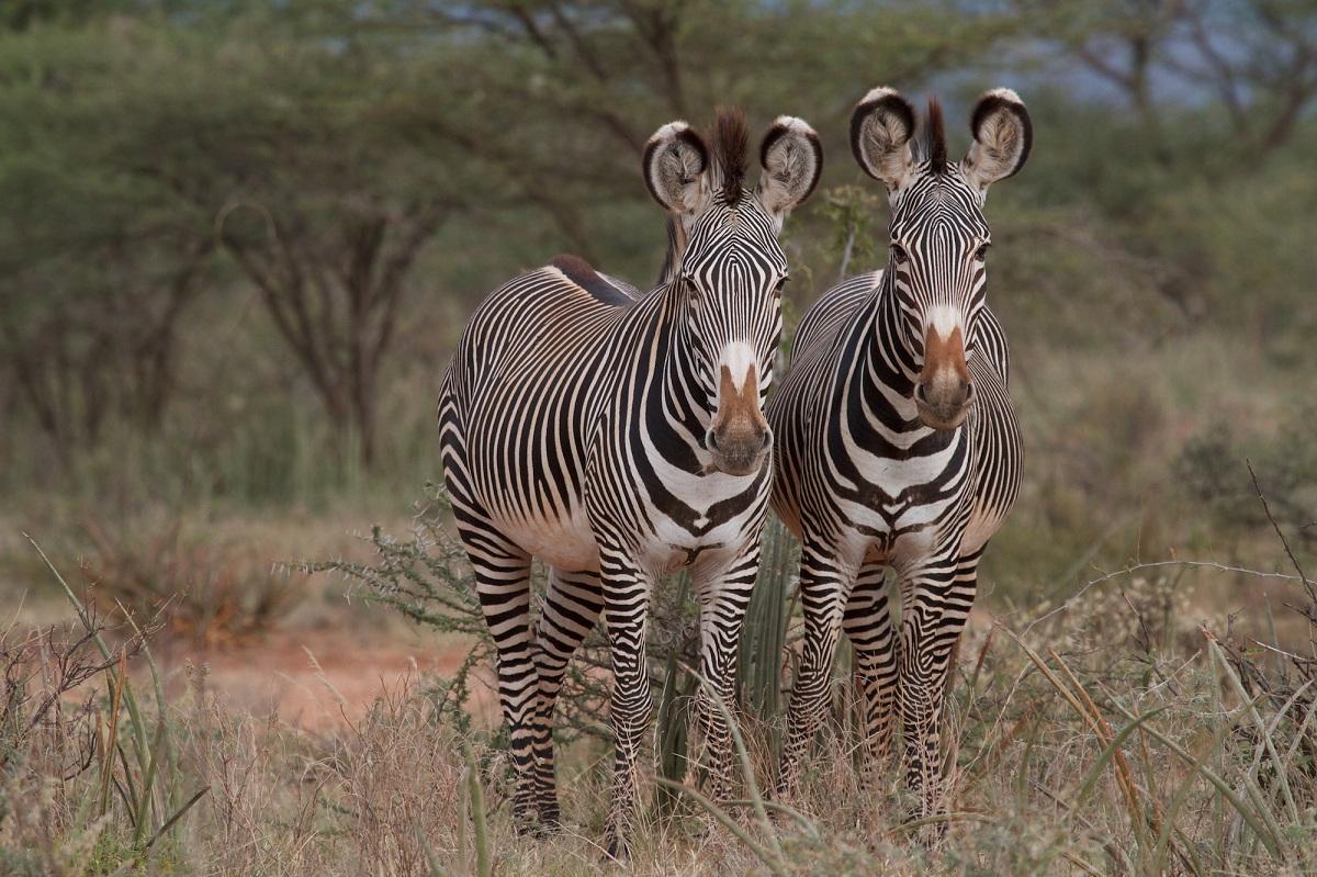 protection of grevy u0027s zebra in el barta northern kenya