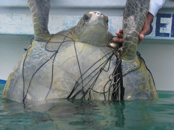 160614-wscf-28-chacon-p7-turtle-innet
