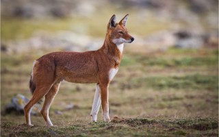 © Ethiopian Wolf Conservation Programme (EWCP)