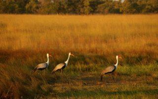 Wattled Cranes © Griffin Shanungu (ICF/EWT)