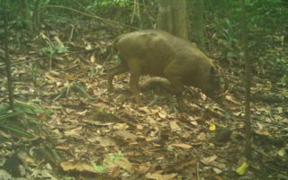 Camera trap photo of Babirusa © WCS