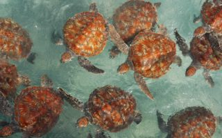 Hawksbill turtles © Marine Research Foundation