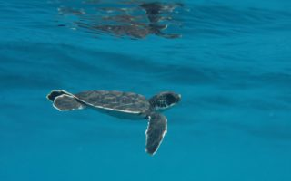 Green turtle © Marine Research Foundation