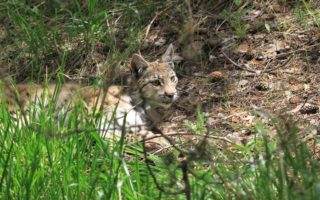 Eurasian lynx © KuzeyDoga Society