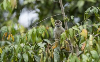 Squirrel Monkey in Yaguas, Peru © Daniel Rosengren / FZS