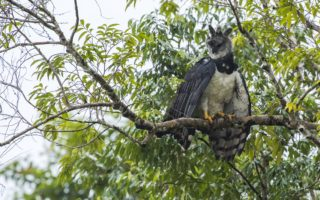 Harpy Eagle along the Putumayo river © Daniel Rosengren / FZS