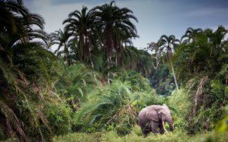 Forest Elephant © Scott Ramsay/Love Wild Africa