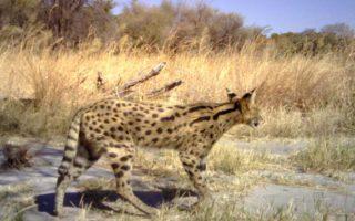 Serval © Panthera