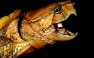 Big-headed Turtle at night © Benjamin Tapley / ZSL