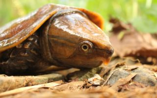 Big-headed Turtle © Benjamin Tapley / ZSL