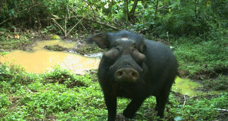 Conservation of The Giant Forest Hog in a Set of Protected ...