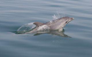 Bottlenose Dolphin © JGonzalvo/TETHYS
