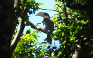 Brown Hornbill © Project Anoulak