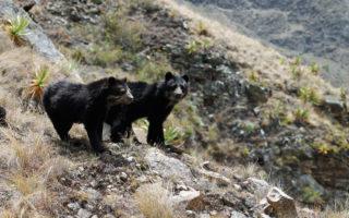 Andean Bear © Ever Chuchullo/SERNANP