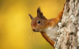 Red Squirrel © Neil McIntyre/ELP