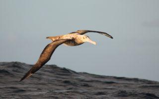 Juvenile Wandering Albatross © Dimas Gianuca/BirdLife International