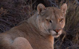 Puma © Franco Bucci/Rewilding Argentina