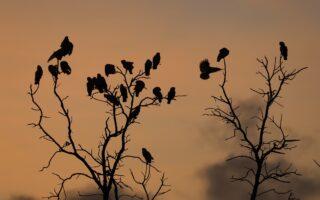 Philippine Cockatoo Conservation Programme © KFI