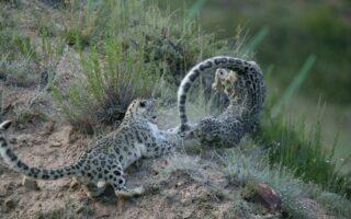© Cyril Grundmann - Snow Leopard Trust