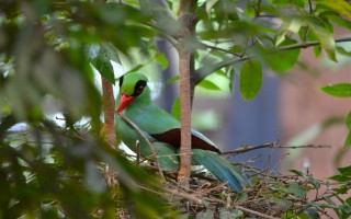 Javan Green Magpie © Florian Richter