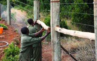 Building the fence in Mt Kenya © Zurich Zoo