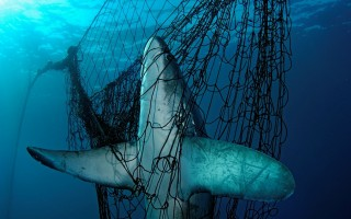 A Thresher shark is fatally caught in a fishing net, Mexico © Brian J. Skerry National Geographic Stock WWF
