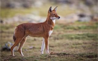 © Ethiopian Wolf Conservation Programme (EWCP)