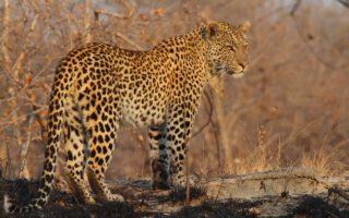 Leopard © Luke Hunter