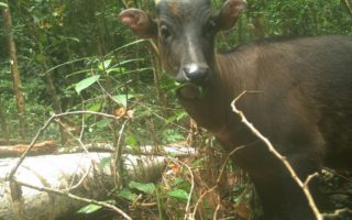 Camera trap photo of Anoa © WCS