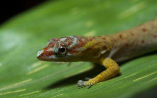 A Lizard in Yaguas © Daniel Rosengren