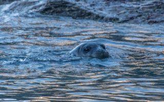 Monk Seals © C. Papadas / WWF Greece