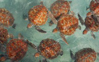 Hawksbill turtles © Marine Research Foundation