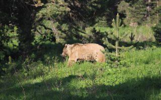Brown bear © KuzeyDoga Society