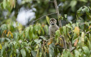 Squirrel Monkey in Yaguas, Peru © Daniel Rosengren / FZS