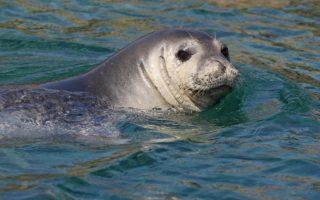 Monk seal © JGonzalvo/TETHYS