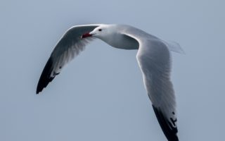 Audouin's Gull © Biljana Jecmenica/BIOM