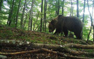 Cantabrian Brown Bear © FAPAS