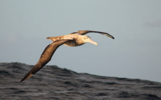 Juvenile Wandering Albatross © Dimas Gianuca/BirdLife International