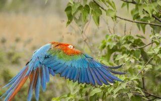 Red-and-green Macaw © Rafael Abuin/Rewilding Argentina