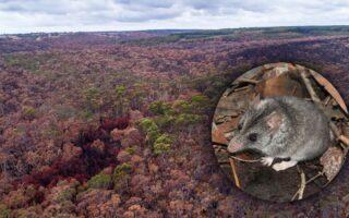 Kangaroo Island Dunnart and remnant habitat on the island © AWC