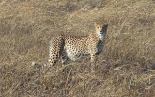 Cheetah © Kim Young