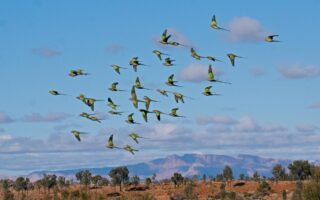 A flock of endangered Princess Parrots at Newhaven © AWC
