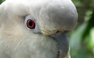 Philippine Cockatoo Conservation Programme © KFI